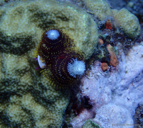Christmas Tree Worms in Saba