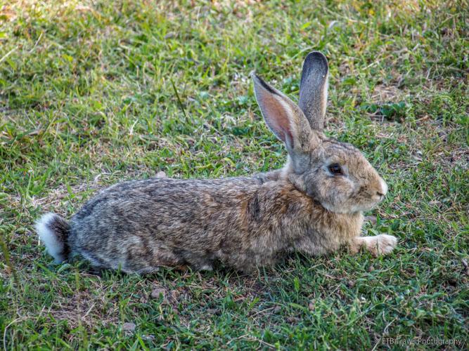 giant bunny in Saba