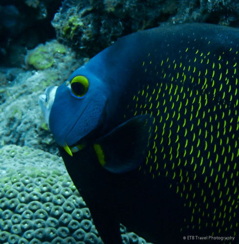 angelfish in Saba