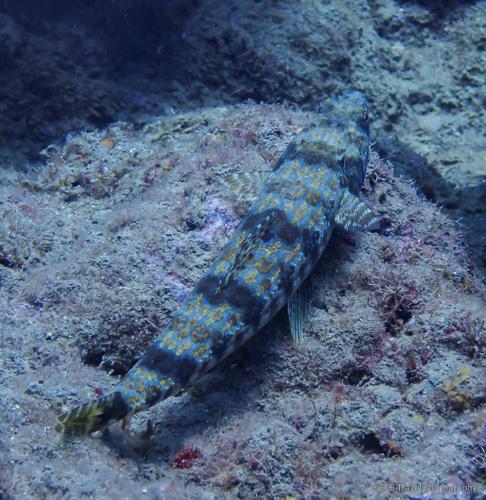 lizardfish in Saba
