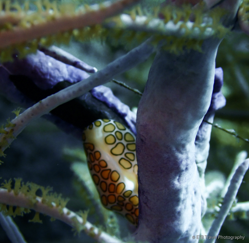 flamingo tongue in Saba