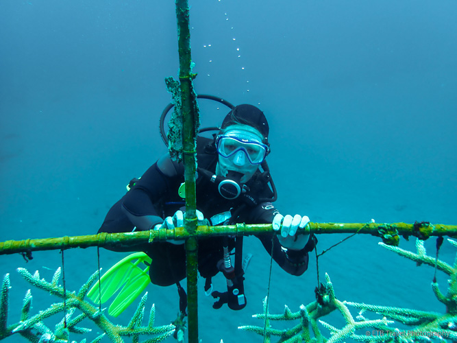 SCUBA diving in Saba, cleaning coral