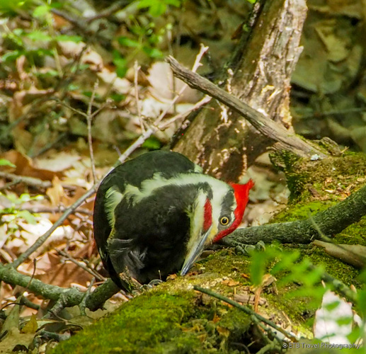 woodpecker at Brown County State Park