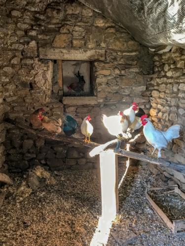 chickens in correze