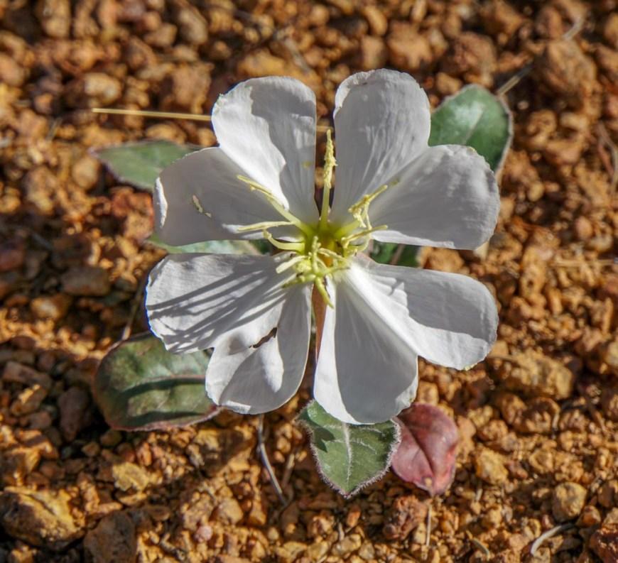 white cacti flower