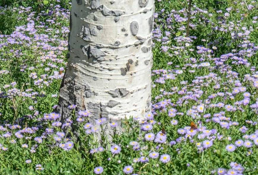 aspen with aspen daisy