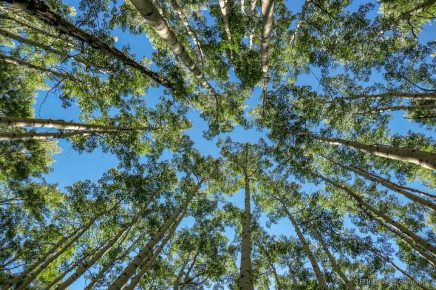 tops of aspen trees