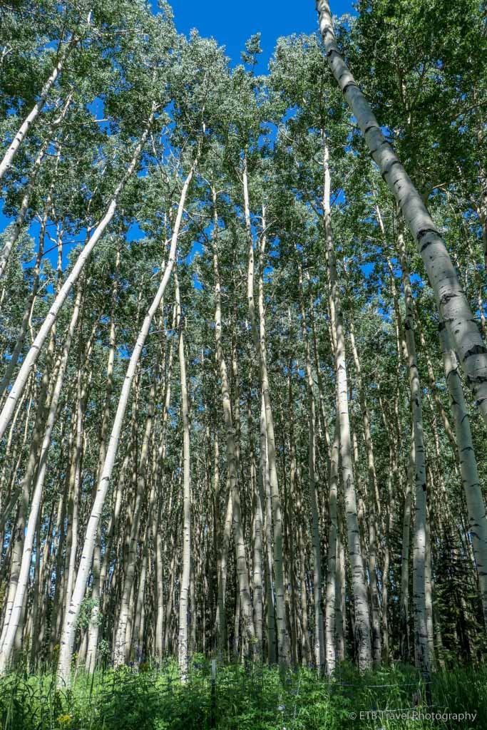 aspen trees on the Sneffels Traverse