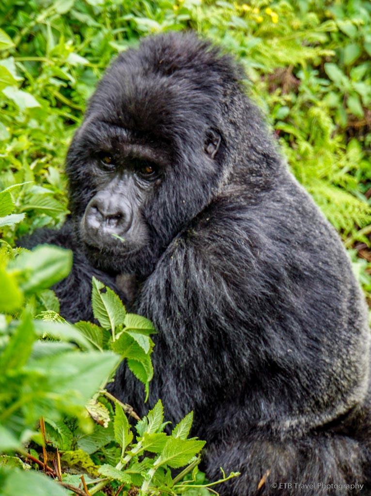 first sighting of gorilla in rwanda