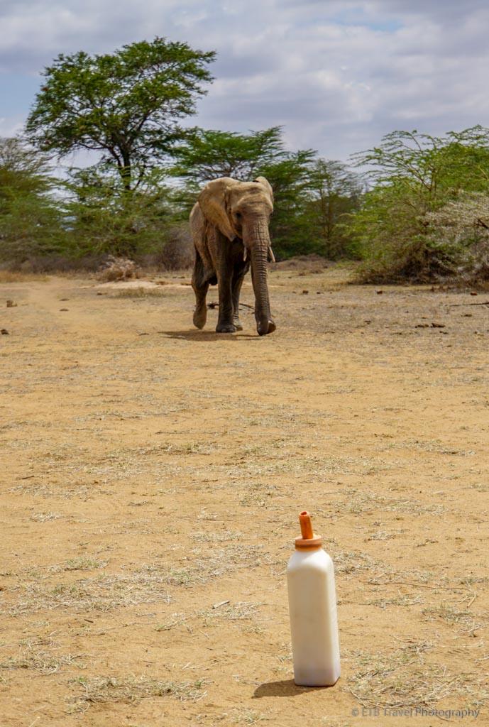 elephant running for its milk bottle at Umani Springs