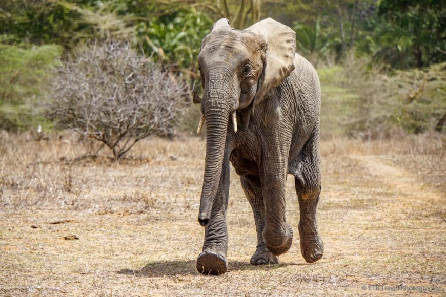 elephant running into Umani Springs for its milk