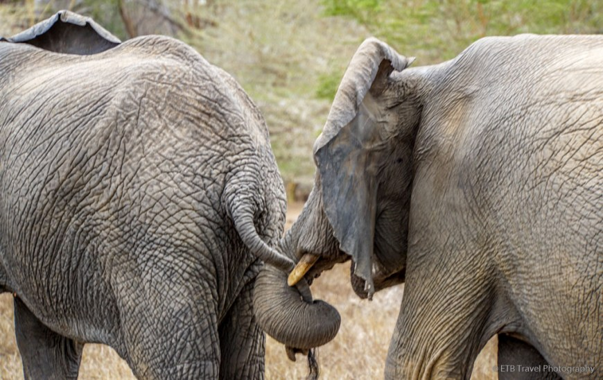 elephant trunk hold tail