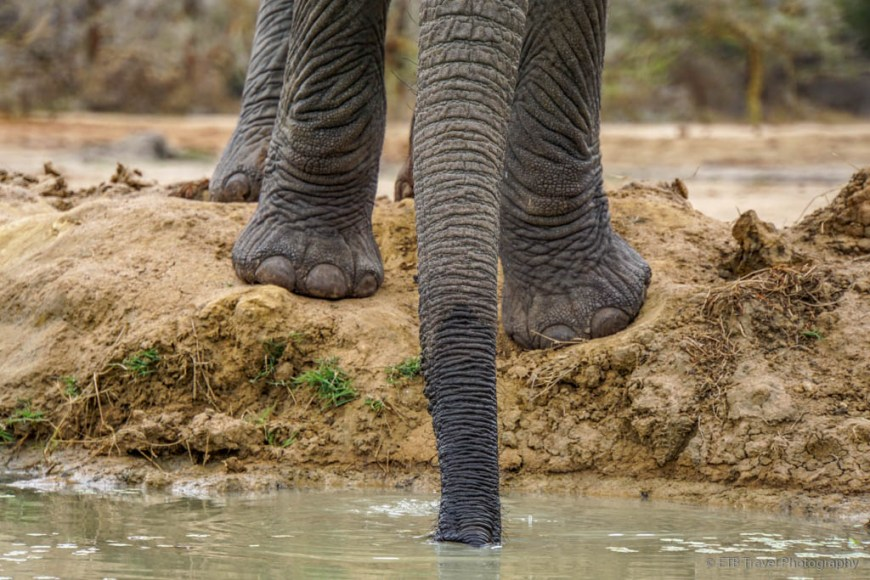 elephant getting water at Umani Springs