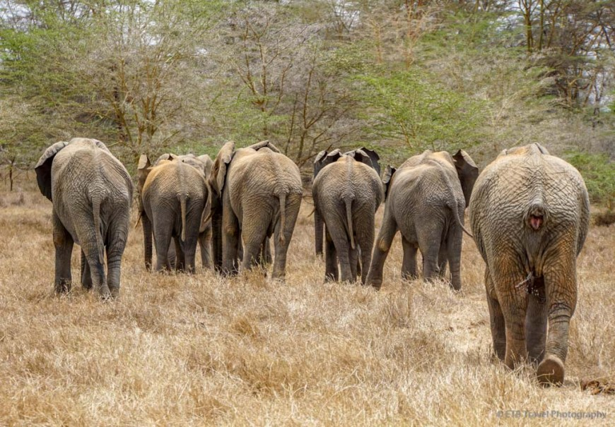 orphan elephants going to forest from Umani Springs