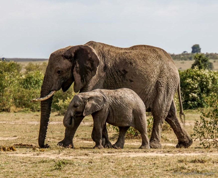 mama and baby elephant in the masai mara