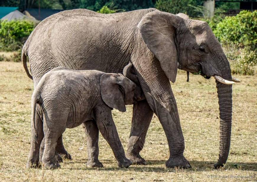 baby elephant nursing