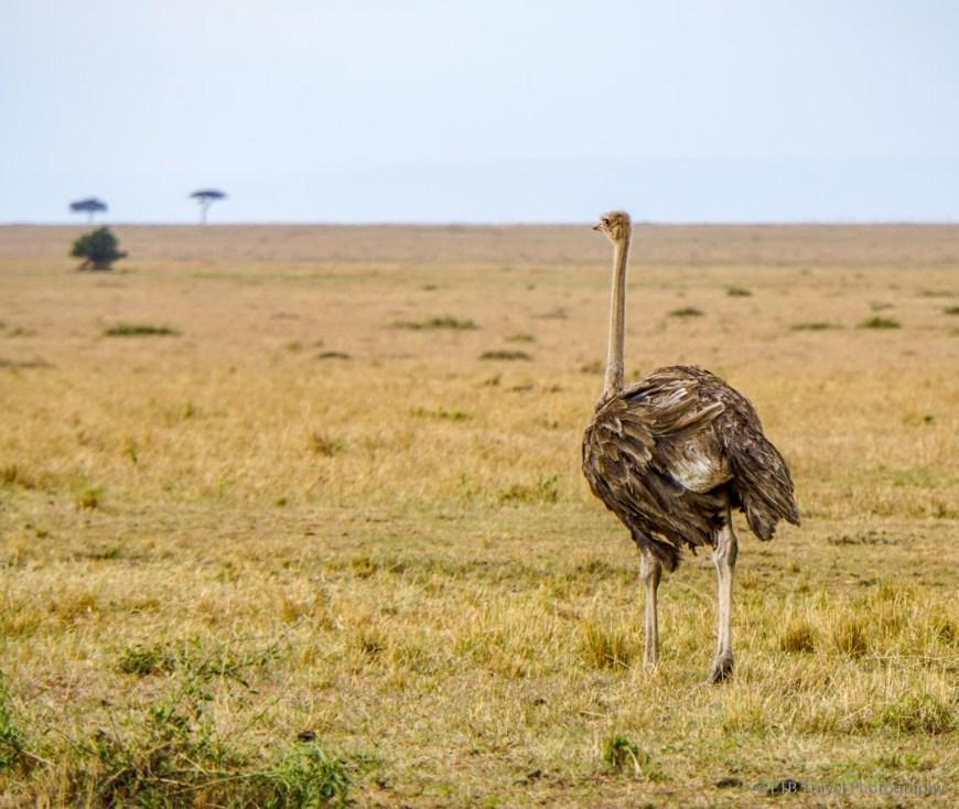 female ostrich in the Masai Mara