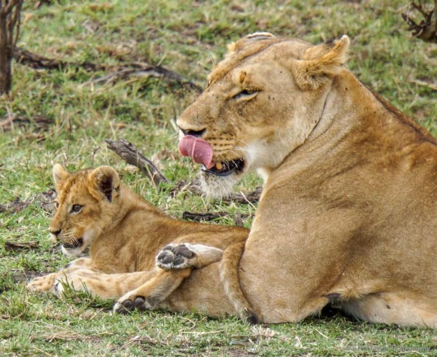 mama and cub in the Masai Mara