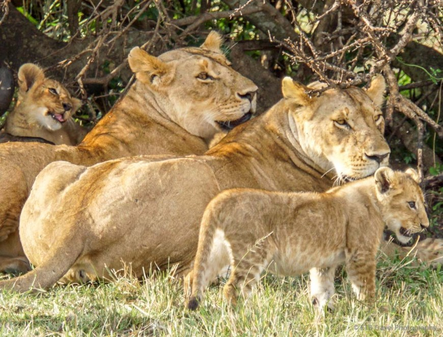 two lioness and two cubs