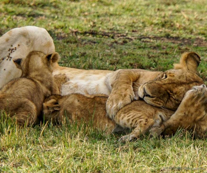 two cubs nursing in the Masai Mara