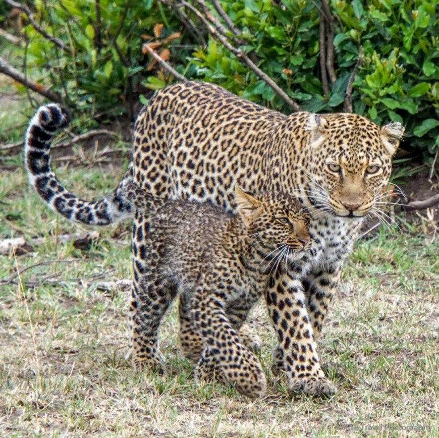 mama and baby leopard in the Masai Mara