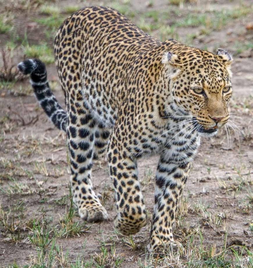 mama leopard in the Masai Mara