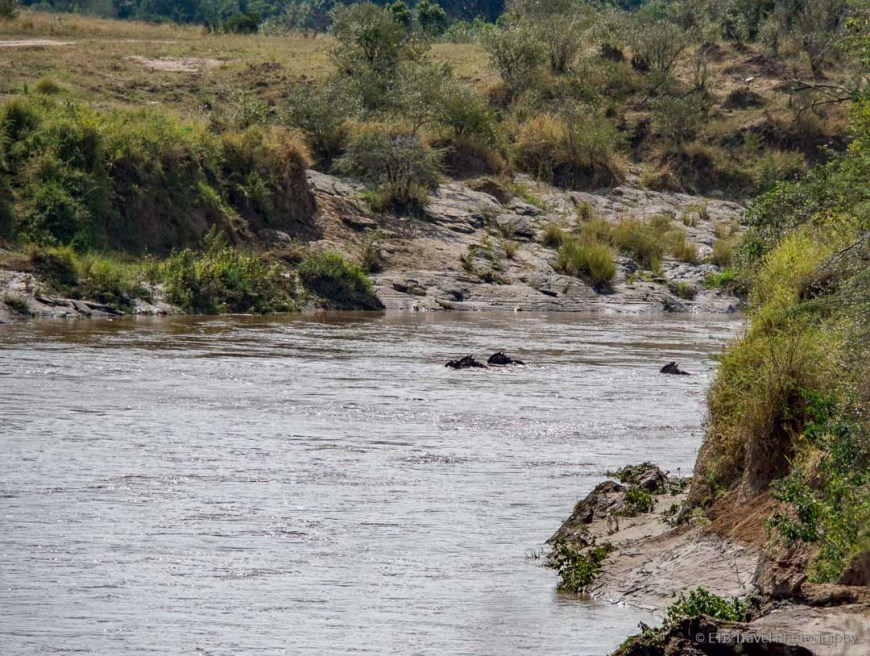 the first Wildebeest to cross the Mara