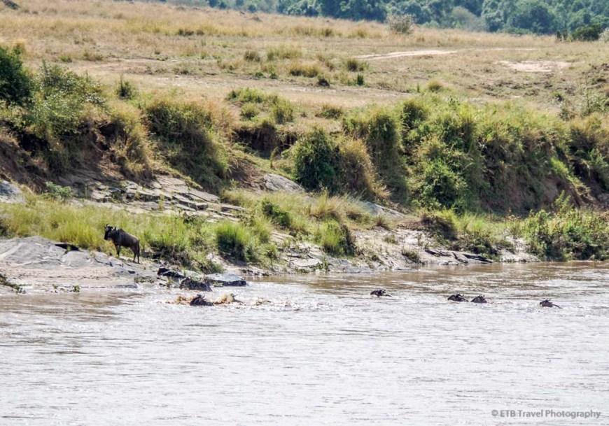 croc has hold of wildebeest