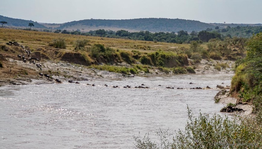 single file line of wildebeest crossing the river