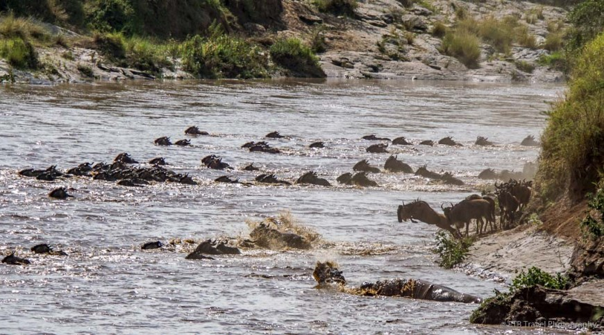 hippos watching the crossing