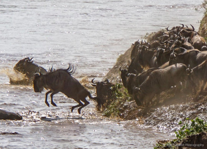 wildebeest leaping into the river