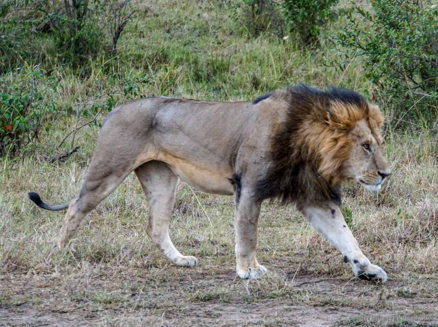 male lion walking in the Masai Mara