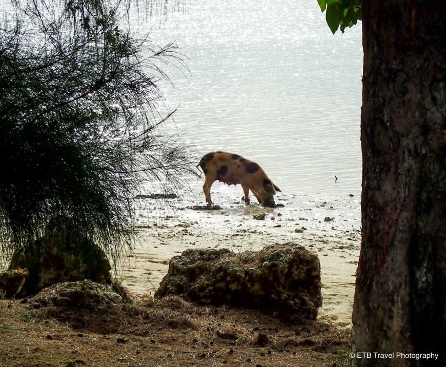 Fishing pigs in Tonga