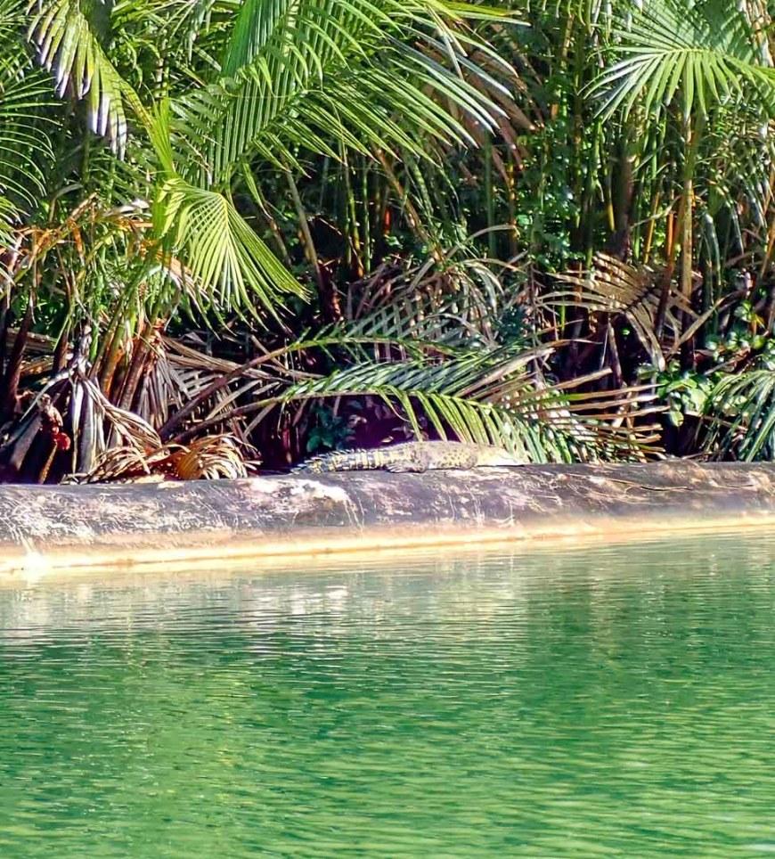 baby croc on log