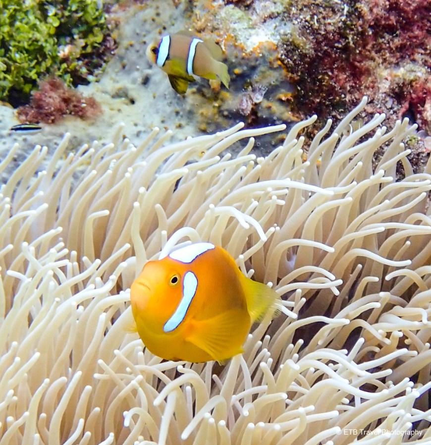 white bonnet anemonefish