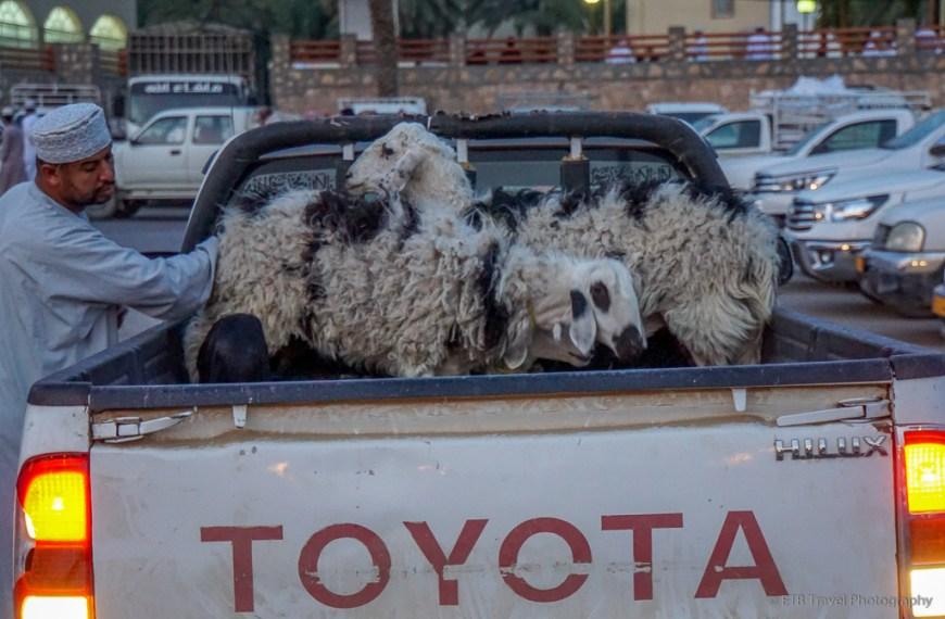 goats in pickup in nizwa