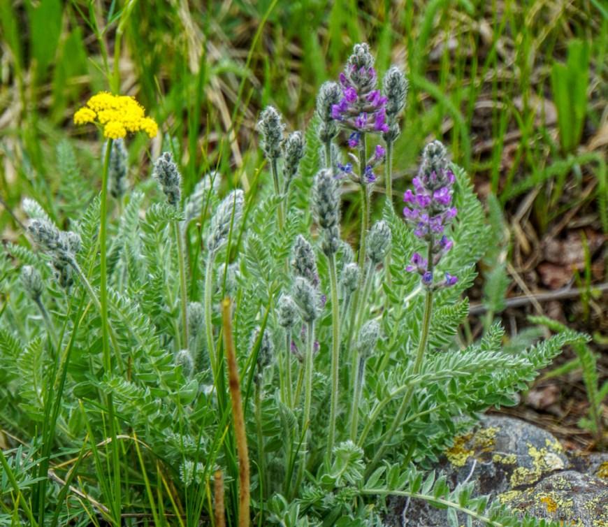 wildflowers on Bruno Gulch Trail