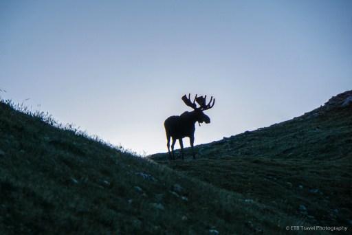 moose on mount ida trail