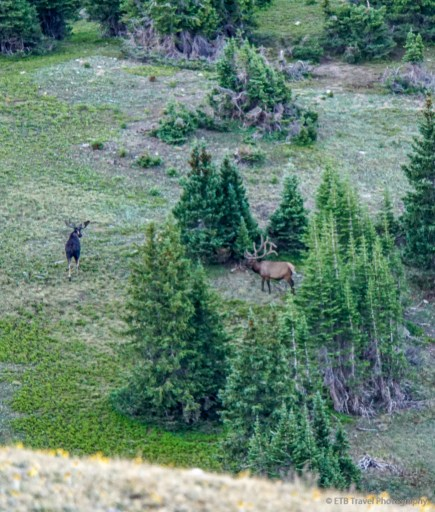 moose and elk on mount ida trail