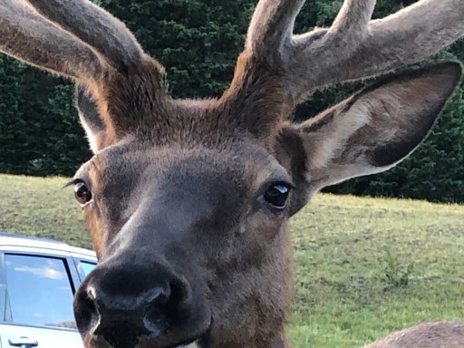 elk sticking nose into car window