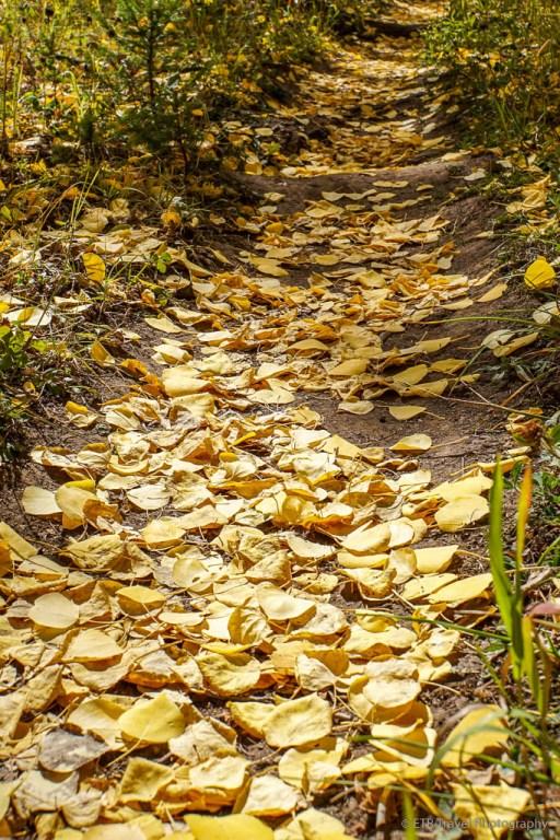 fallen aspen leaves on grouse lake trail near vail