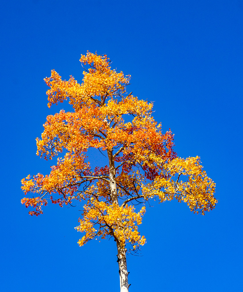 oranage aspen tree
