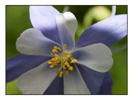 photographic note card, Blue Columbine