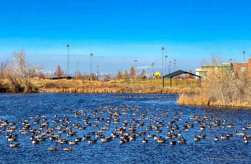 geese at parkfield lake park