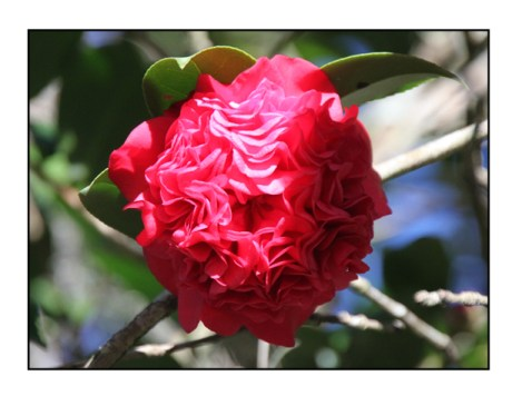 photographic note card, camellia