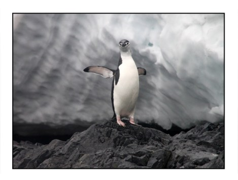 photographic note card, chinstrap penguin in Antarctica