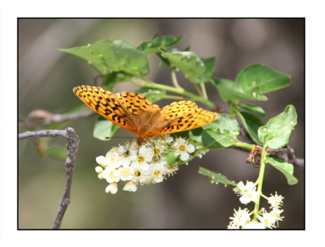 photographic note card, great spangle fritillary butterfly