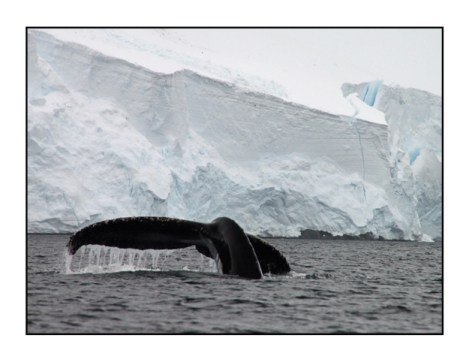 photographic note card, humpback whale in antarctica