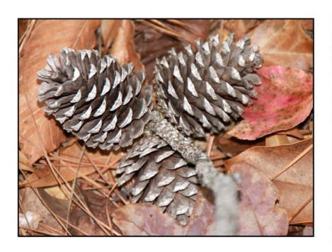 photographic note card, pine cones