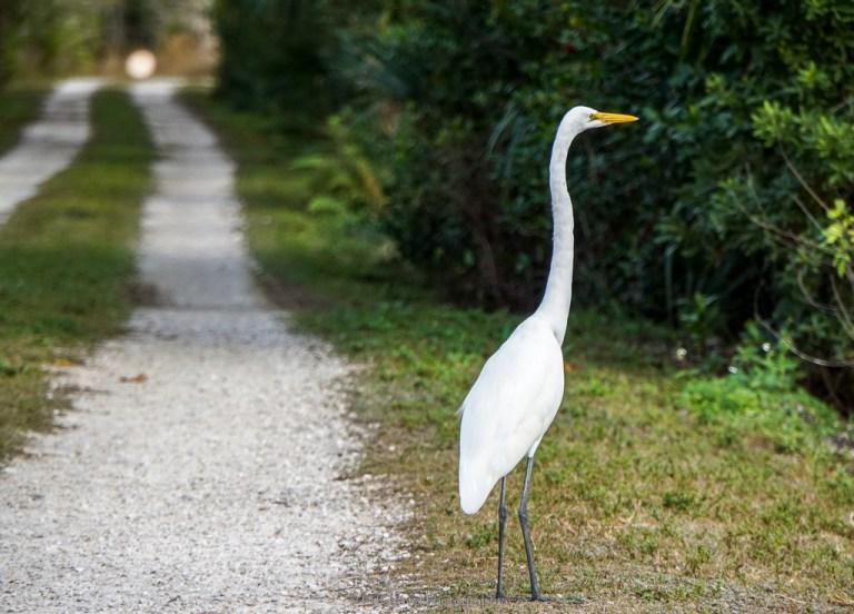 egret in big cypress